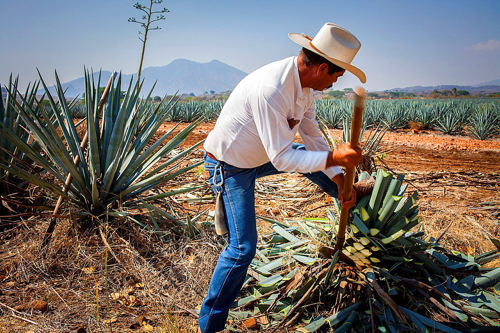 Harvesting Agave.plantation of blue Agave in Amatitan valley, near Tequila City, Guadalajara, Jalisco, Mexico.