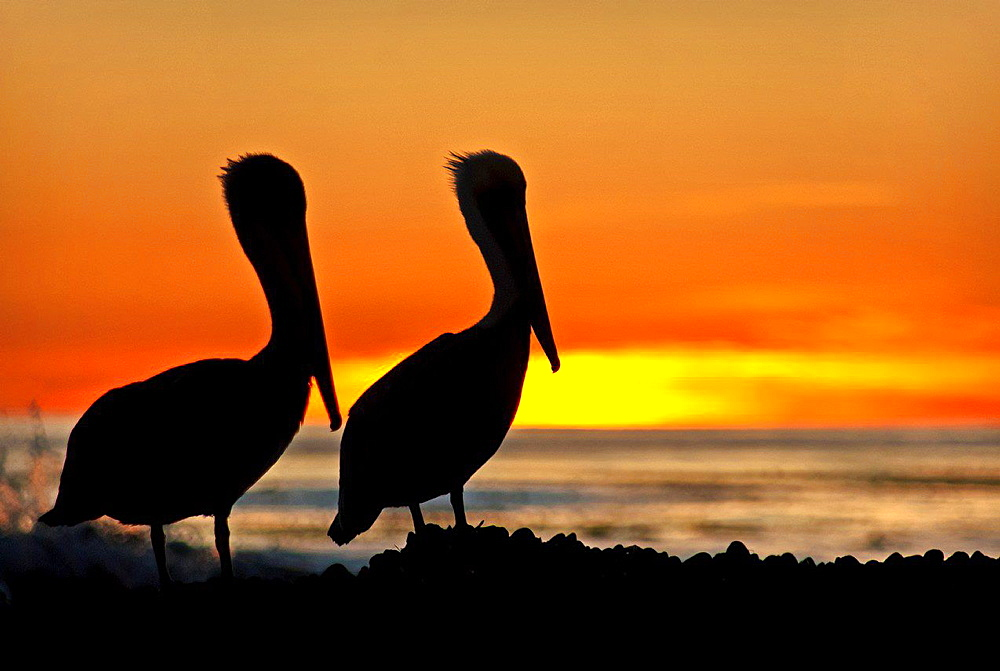 Santa Barbara, Pelicans at Coal Oil Point during sunset on the Pacific Ocean near the city of Goleta in southern California.