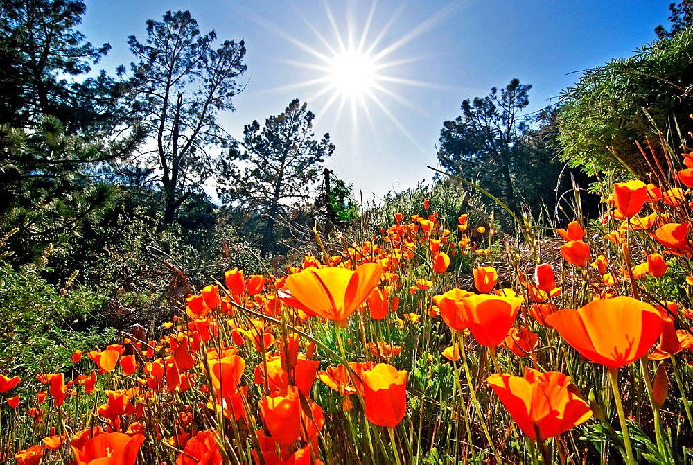 Figueroa Mountain, California Poppy wildflowers on Figueroa Mountain in the San Rafael Mountains in southern California.