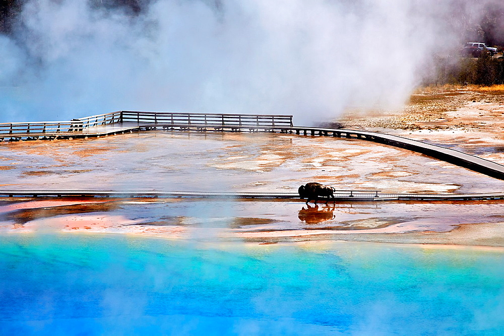A bison crossing Grand Prismatic Spring at Midway Geyser Basin. Yellowstone National Park. Wyoming, USA.