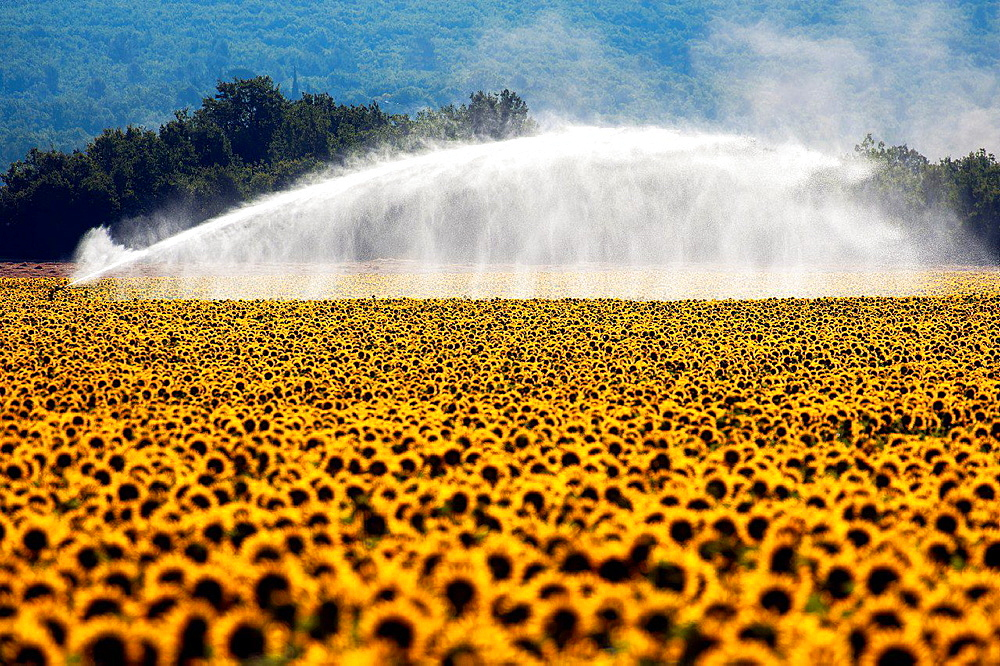 Europe, France, Alpes-de-Haute-Provence, 04, Regional Natural Park of Verdon, Valensole. Watering a field of sunflowers.