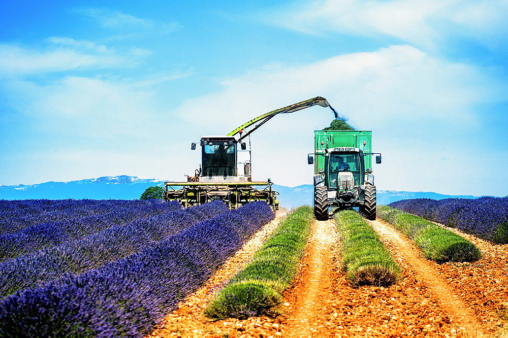 Europe, France, Alpes-de-Haute-Provence, 04, Regional Natural Park of Verdon, Valensole. Harvest lavender.