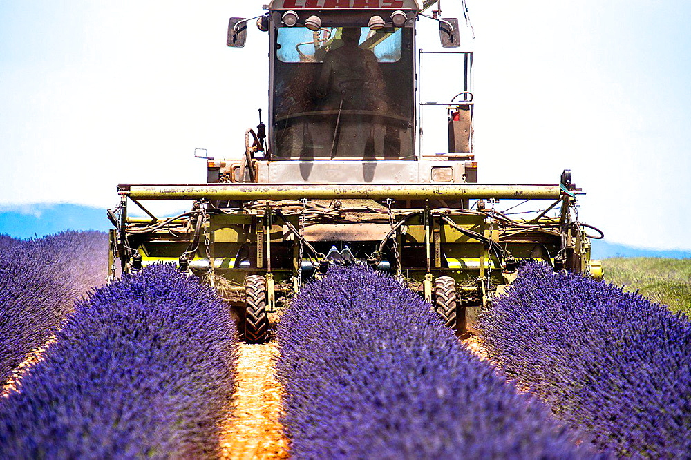 Europe, France, Alpes-de-Haute-Provence, 04, Regional Natural Park of Verdon, Valensole. Harvest lavender. - 817-458417