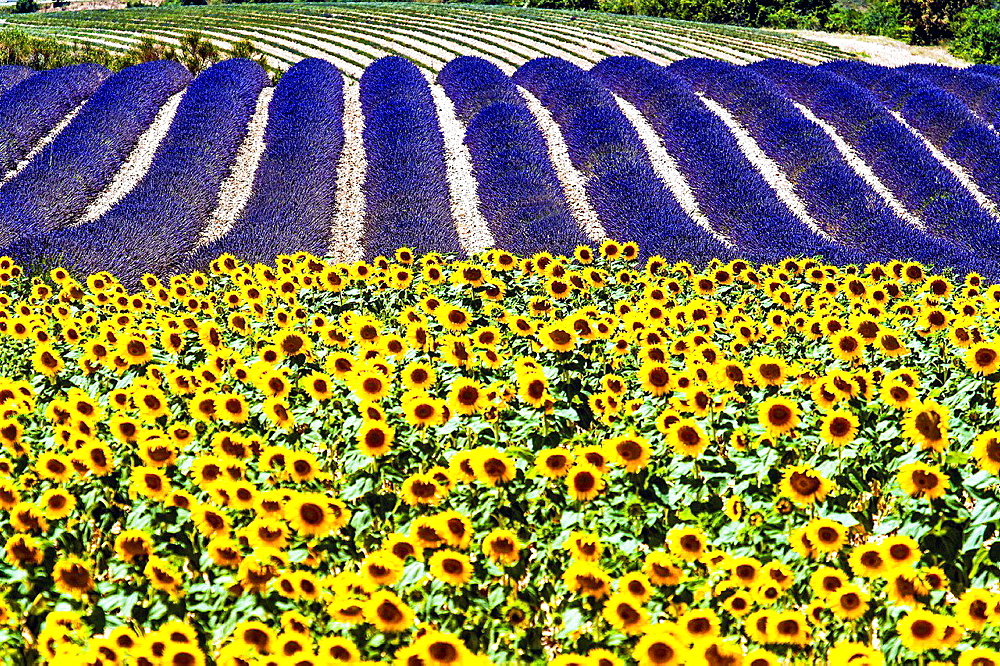 Europe, France, Alpes-de-Haute-Provence, 04, Regional Natural Park of Verdon, Valensole field of sunflowers and lavender.