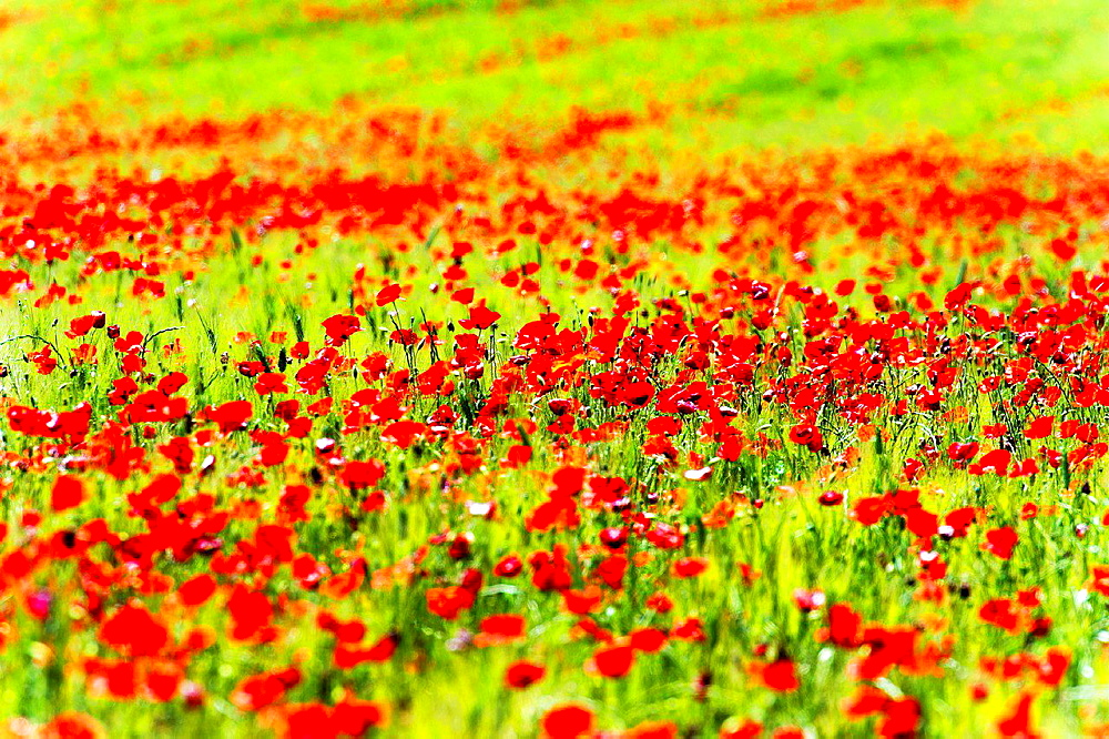 Europe, France, Alpes-de-Haute-Provence, 04, Regional Natural Park of Verdon, Valensole. Poppy Fields.