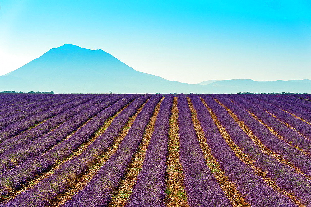Europe, France, Alpes-de-Haute-Provence, 04, Regional Natural Park of Verdon, Valensole. Fields lavender.