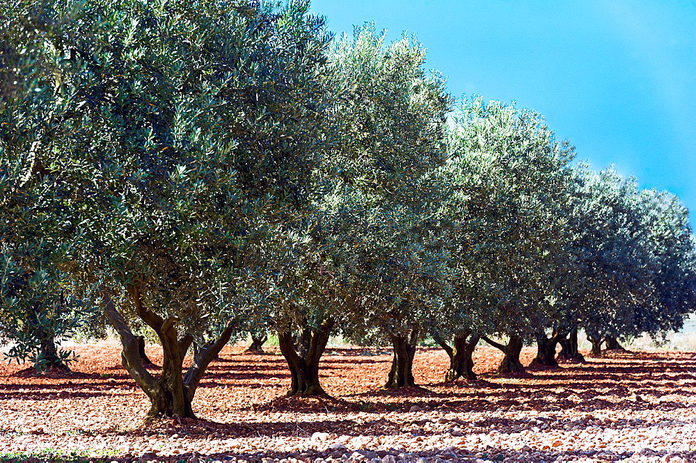 Europe, France, Alpes-de-Haute-Provence, 04, Regional Natural Park of Verdon, Valensole. Field of olive tree.