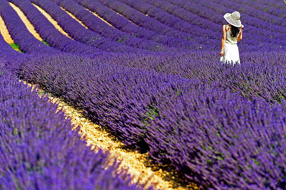 Europe, France, Alpes-de-Haute-Provence, 04, Regional Natural Park of Verdon, Valensole. Tourist in a field of lavender.