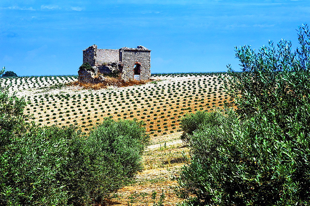 Europe, France, Alpes-de-Haute-Provence, 04, Regional Natural Park of Verdon, Valensole. Ruin in a field of lavender.