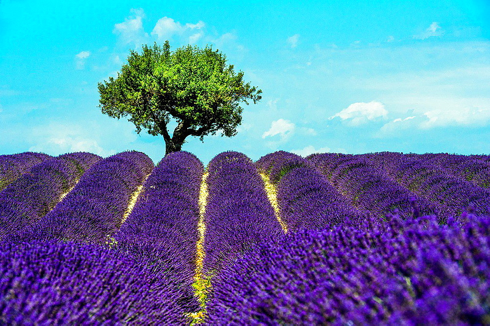 Europe, France, Alpes-de-Haute-Provence, 04, Regional Natural Park of Verdon, Valensole. Field of lavender. - 817-458436
