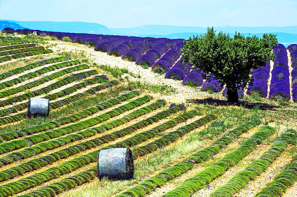 Europe, France, Alpes-de-Haute-Provence, 04, Regional Natural Park of Verdon, Valensole. Field of lavender. - 817-458438