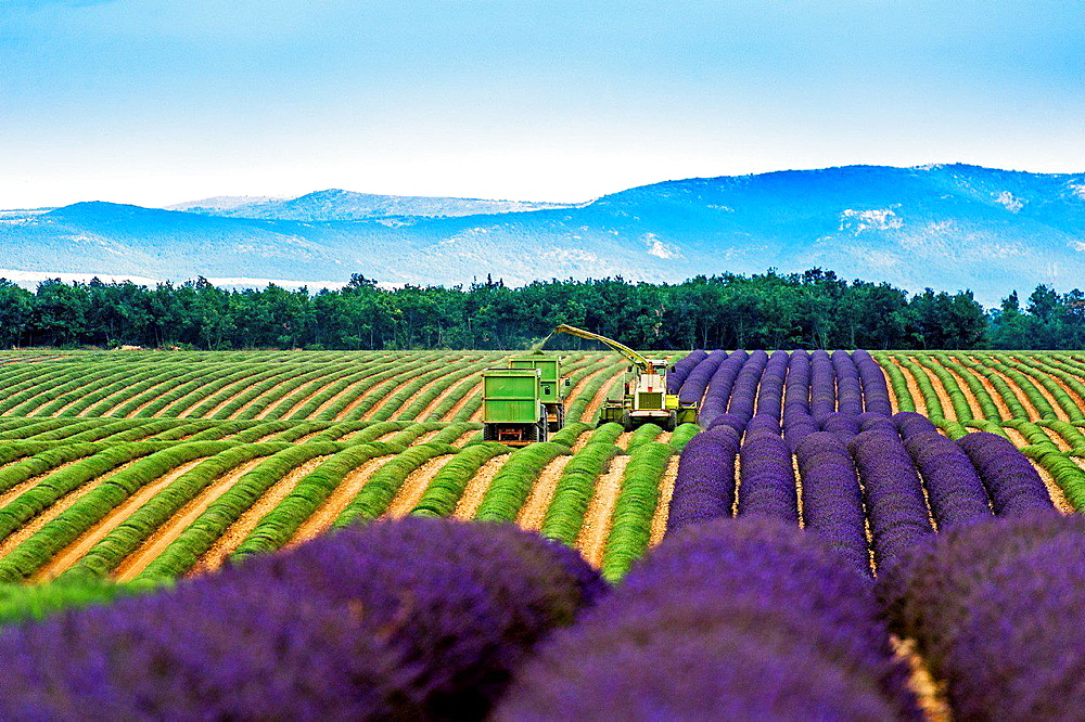 Europe, France, Alpes-de-Haute-Provence, 04, Regional Natural Park of Verdon, Valensole. Harvest lavender. - 817-458445