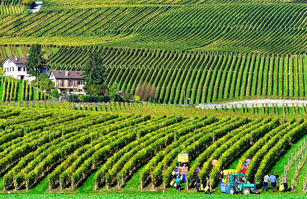 Rows of grape bushes around residential buildings, Aubonne, a village in the midst of the vineyards, well-known for its high quality wine, here workers harvesting grapes, vintage, district of Morges, canton Vaud, Romandy, the French-speaking part of Switz