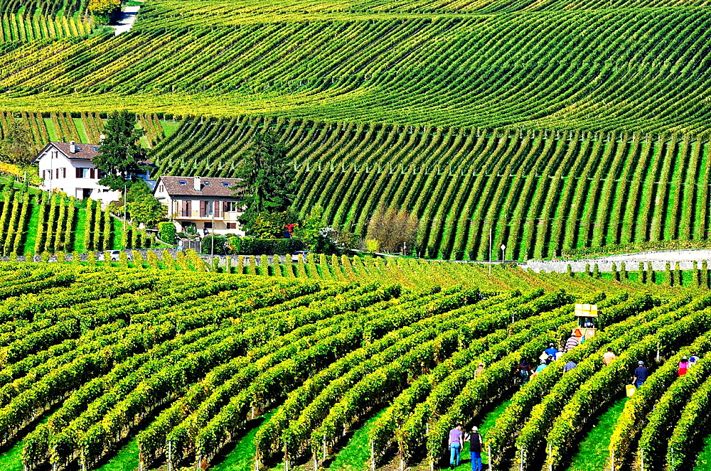 Workers harvesting grapes, vintage, canton Vaud, Switzerland.