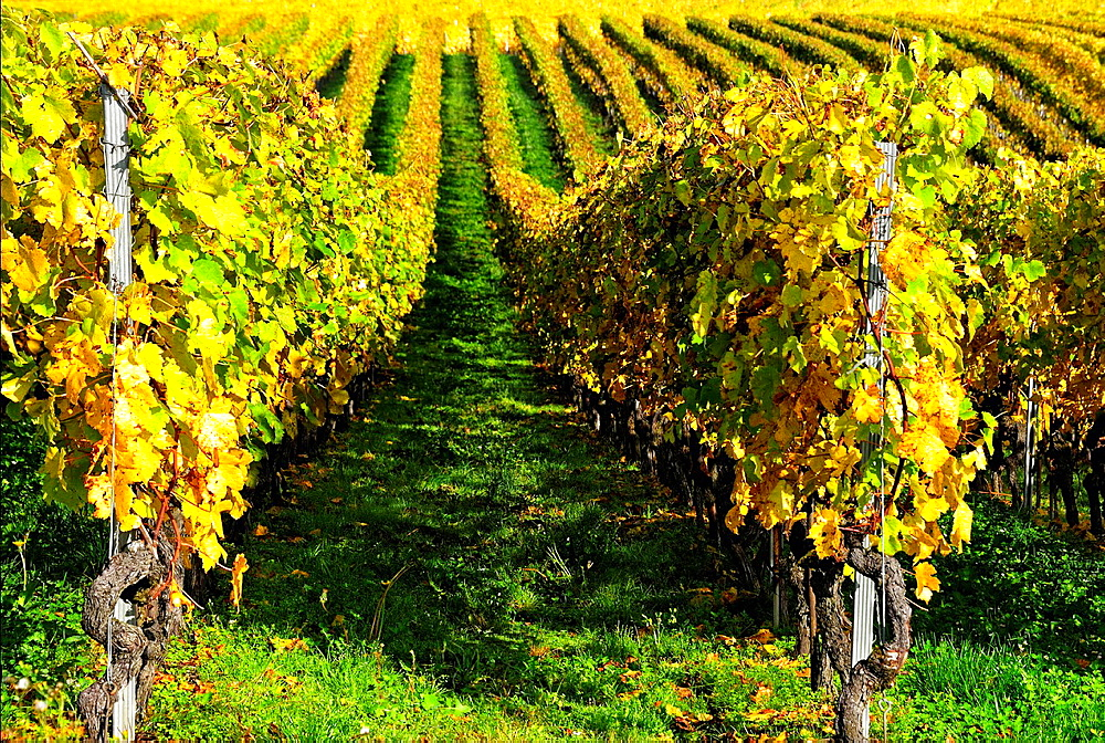 Rows of grape bushes, Fechy, a village in the midst of the vineyards, well-known for its high quality wine, district of Morges, canton Vaud, Romandy, the French-speaking part of Switzerland.