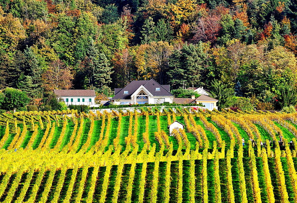 Houses of village Mont-sur-Rolle surrounded by vineyards, the area is famed for its wine-making, vineyards fields and wines with distinctive fizzy-fruit flavor , autumn scene, Romandy, French speaking part of Switzerland, district of Nyon, canton Vaud