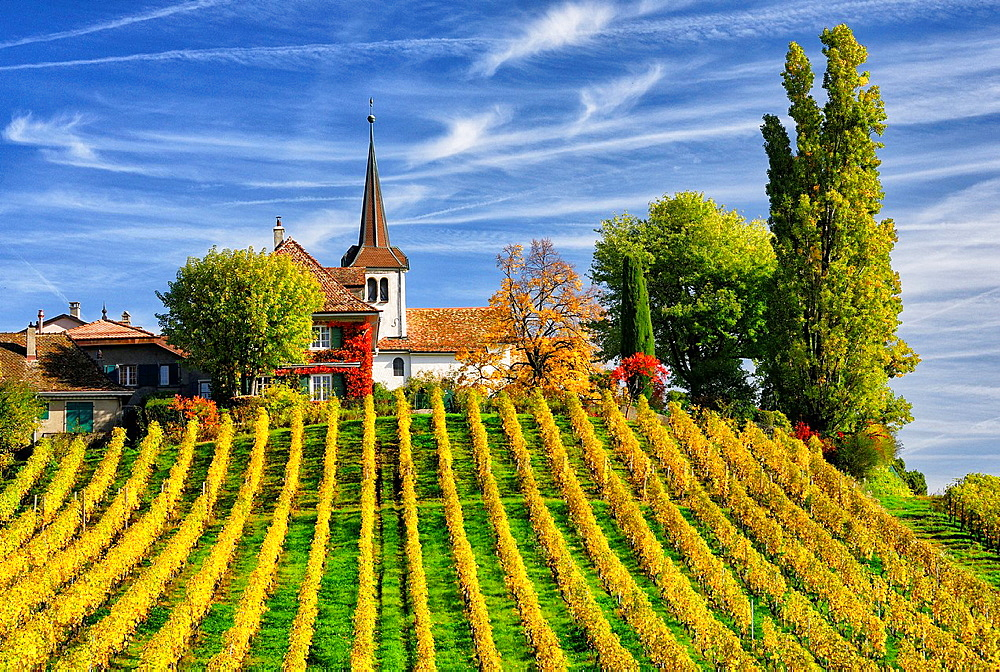 Rows of grape bushes around residential buildings and church, Fechy a village in the midst of the vineyards, well-known for its high quality wine, district Morges, canton Vaud, Romandy, the French-speaking part of Switzerland , autumn landscape - 817-458861