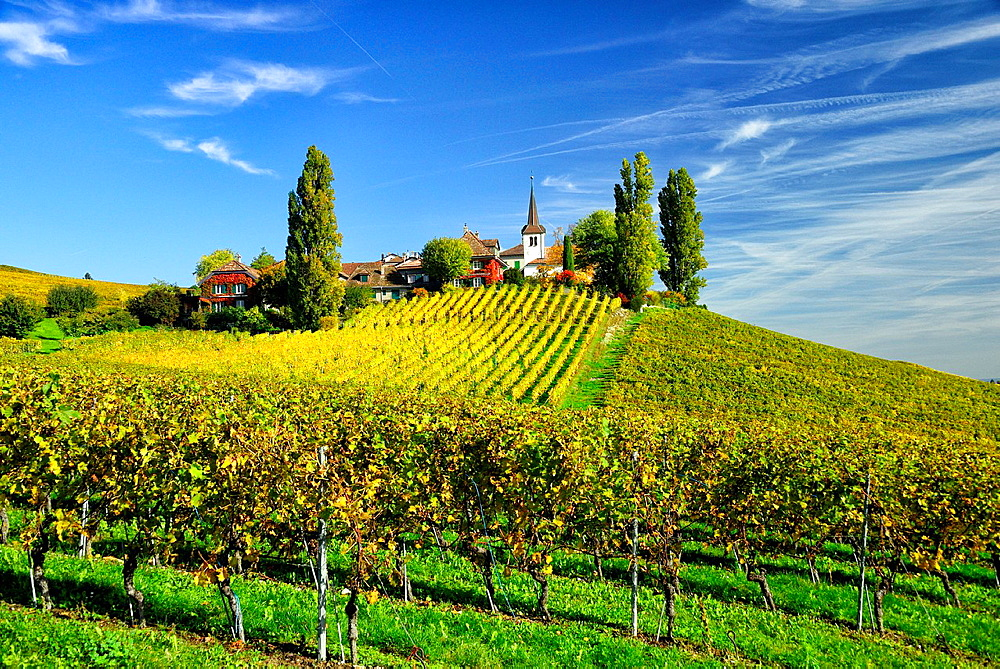 Rows of grape bushes around residential buildings and church, Fechy a village in the midst of the vineyards, well-known for its high quality wine, district Morges, canton Vaud, Romandy, the French-speaking part of Switzerland , autumn landscape