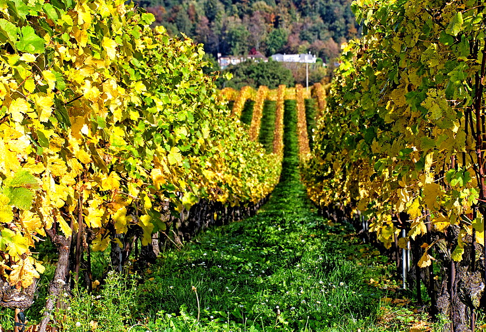 vineyard in autumn, canton Vaud, Switzerland.