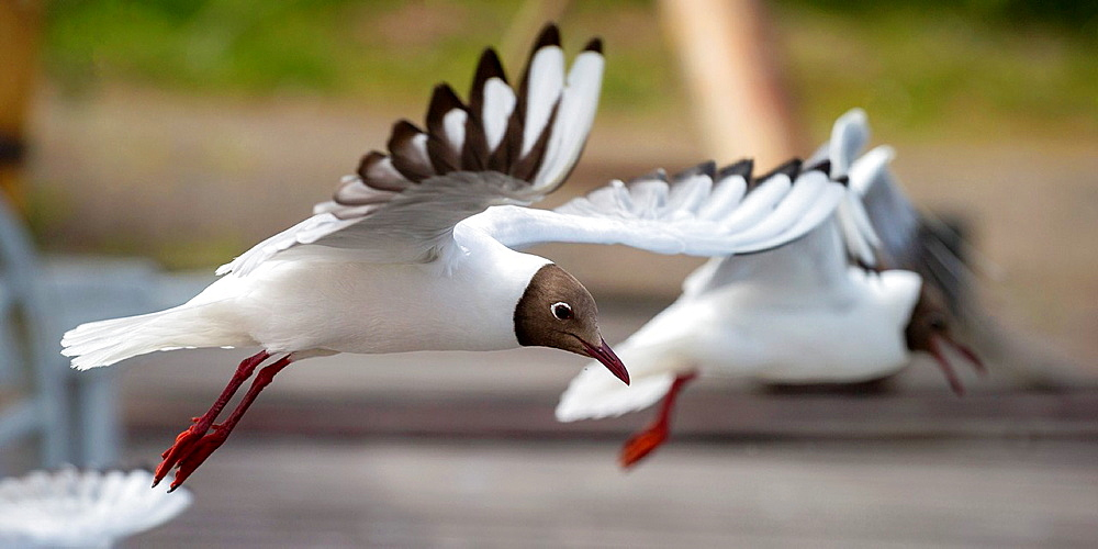 Black-headed Gull flying, Iceland.