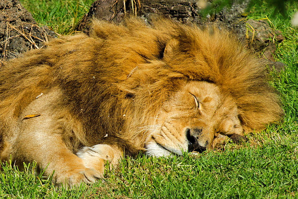 Sleepy African lion on a green gerass.