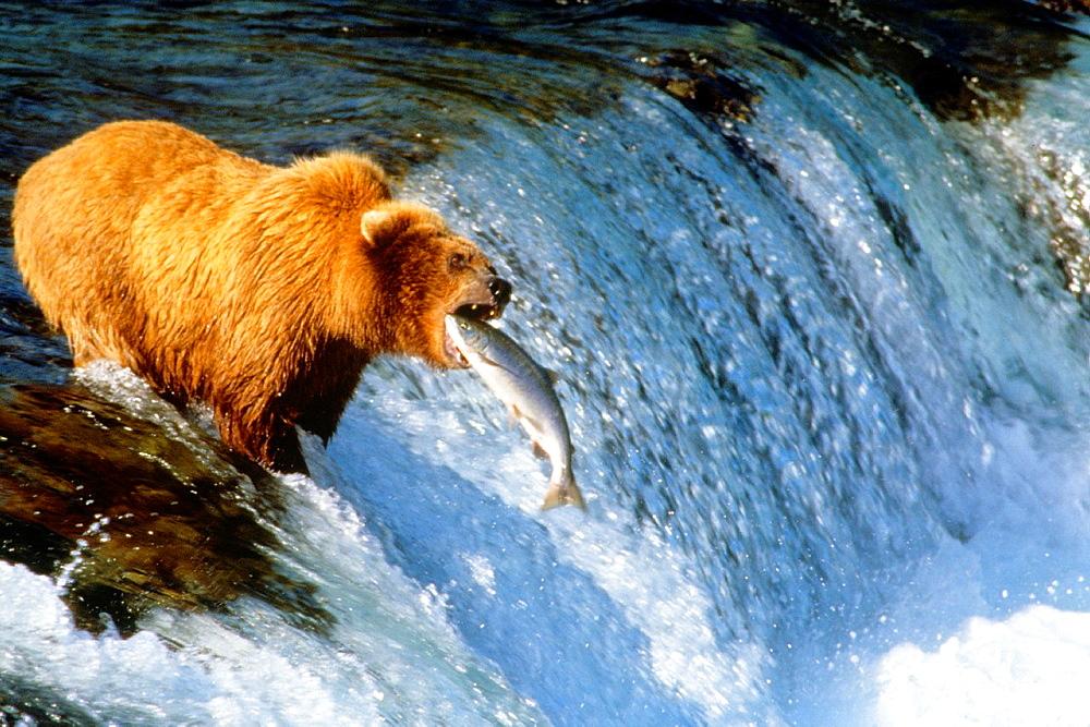 Alaska Brown Bear Catching Salmon Brooks Falls Katmai Park Alaska.