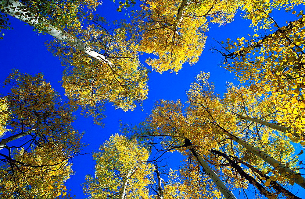 Yellow fall aspens and blue sky in the San Juan Mountains, San Juan National Forest, Colorado USA.