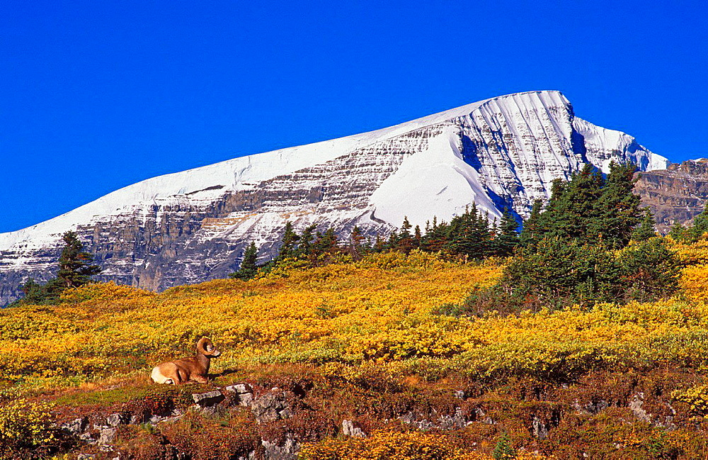 Morning light on bighorn ram (Ovis canadensis) on Wilcox Ridge under Mount Snowdome, Columbia Icefields Area, Jasper National Park, Alberta, Canada.