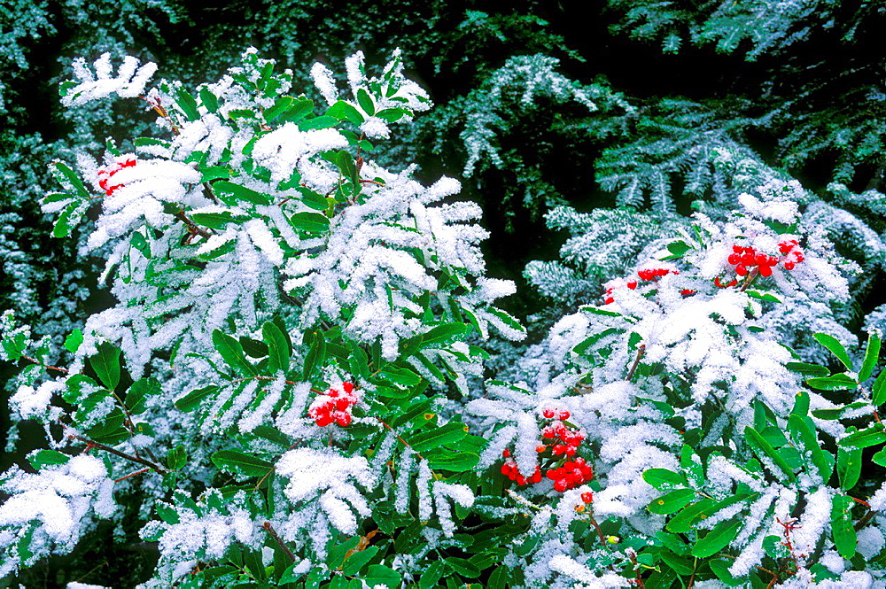 Fresh powder on Sitka mountain ash berries and western hemlock, Mount Rainier National Park, Washington USA.