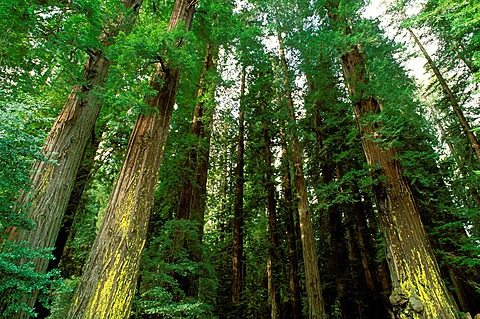 Old growth Redwoods (Sequoia sempervirens), Humboldt Redwoods State Park, California USA.
