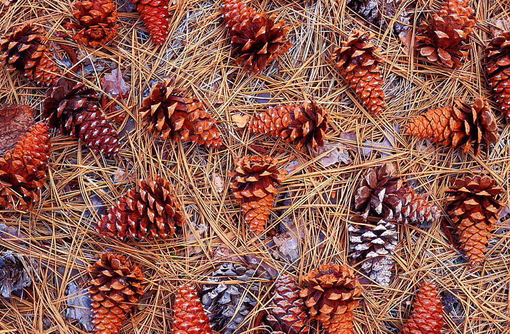 Pine cones and pine needles on forest floor, Figueroa Mountain, Los Padres National Forest, California USA.