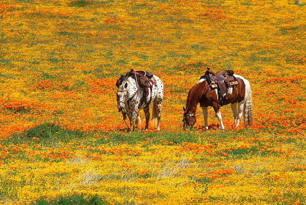 Horses in a field of California Poppies and Goldfields, Antelope Valley, California USA.