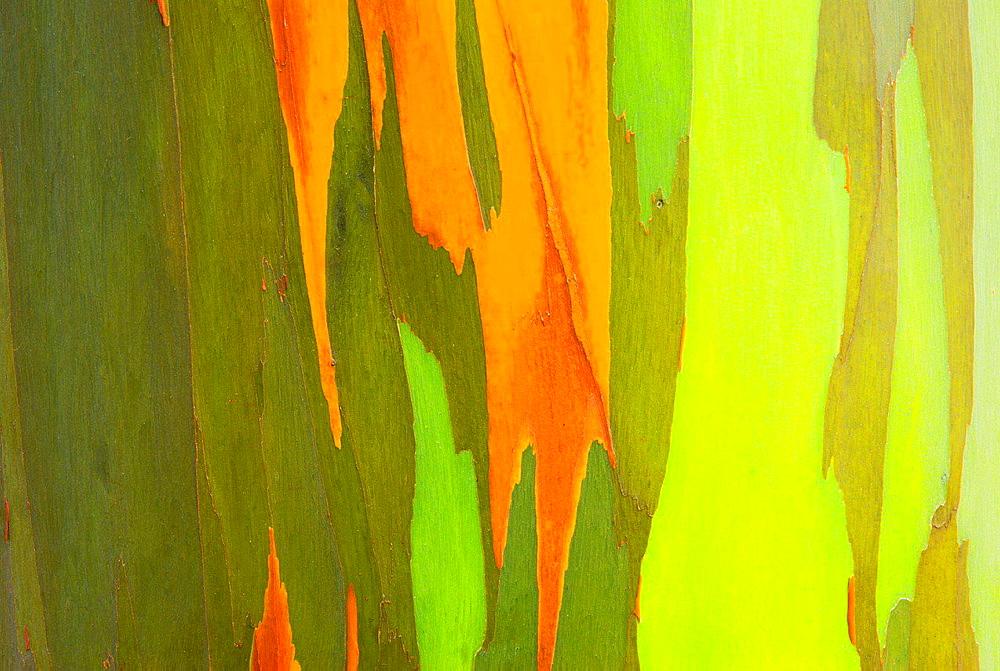 Rainbow Eucalyptus bark (Eucalyptus deglupta, Mindanao Gum), Island of Kauai, Hawaii USA.