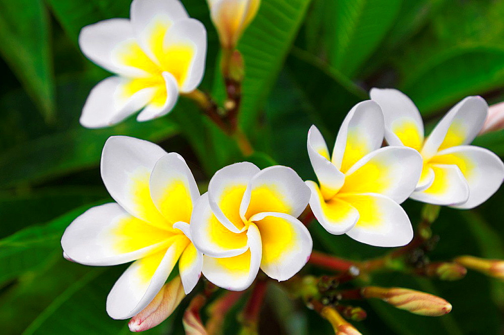Plumeria flowers, Island of Kauai, Hawaii USA.