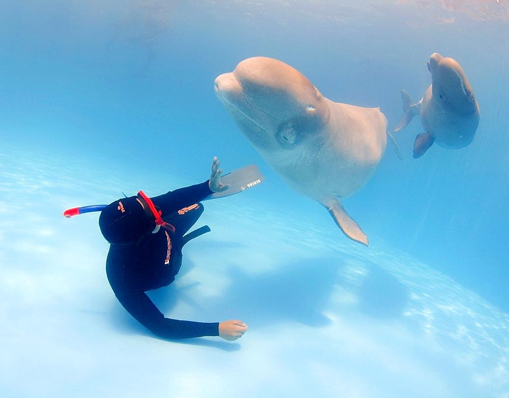 diver and Beluga, White whale (Delphinapterus leucas), Delphinarium, Odessa, Ukraine.