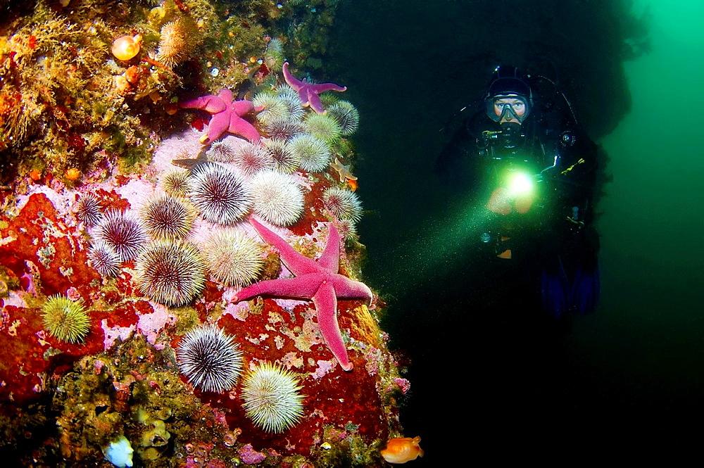 Starfish, Green sea urchin (Henricia sanguinoleta, Strongylocentrotus droebachiensis) Arctic, Russia, Barents sea.