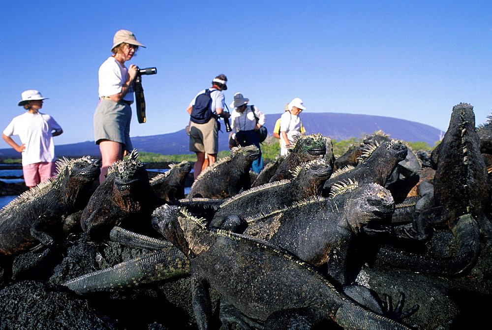 Ecuador, Galapagos Island, Fernandina Island, Marine Iguanas, Tourists In Background.