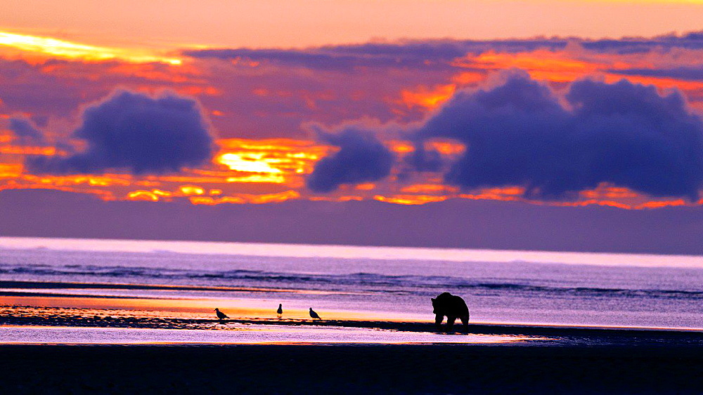 North American brown bear, coastal grizzly bear (Ursus arctos horribilis) sow walking along a beach during sunrise, Lake Clark National Park, Alaska, United States of America.