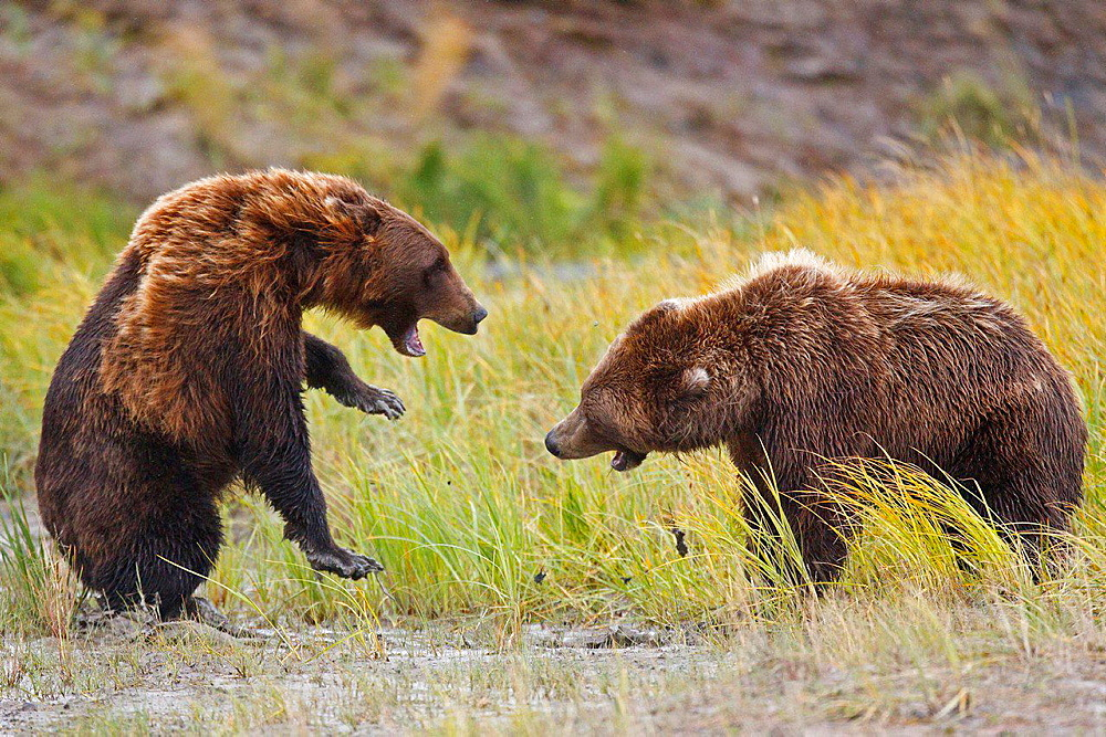 Two North American brown bear, coastal grizzly bear (Ursus arctos horribilis) sows fight for fishing territory in a grassy field, Lake Clark National Park, Alaska, United States of America.
