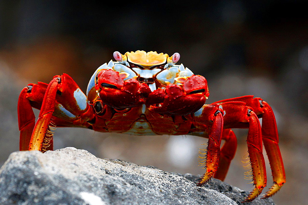 Sally Lightfoot Crab (Grapsus grapsus) standing on a lava rock, North Seymour Island Galapagos Ecuador.