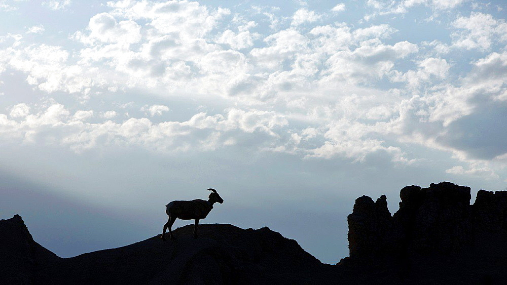 A big horned sheep stands on top of a rock formation, Badlands National Park, South Dakota, United States of America.