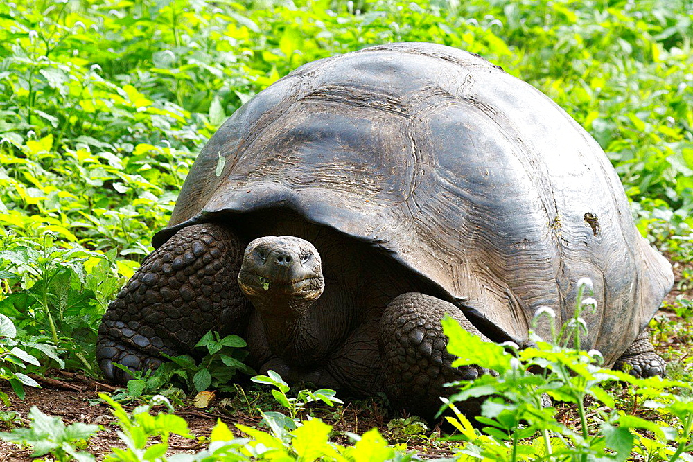 Male Galapagos tortoise, Gala°pagos giant tortoise (Chelonoidis nigra), Galapagos Islands National Park, Santa Cruz Island Galapagos Ecuador.