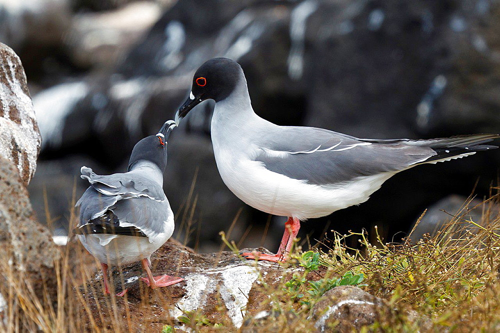 A pair of Swallow-Tailed Gulls (Creagrus furcatus), touching bills, Galapagos Islands National Park, North Seymour Island, Galapagos, Ecuador.