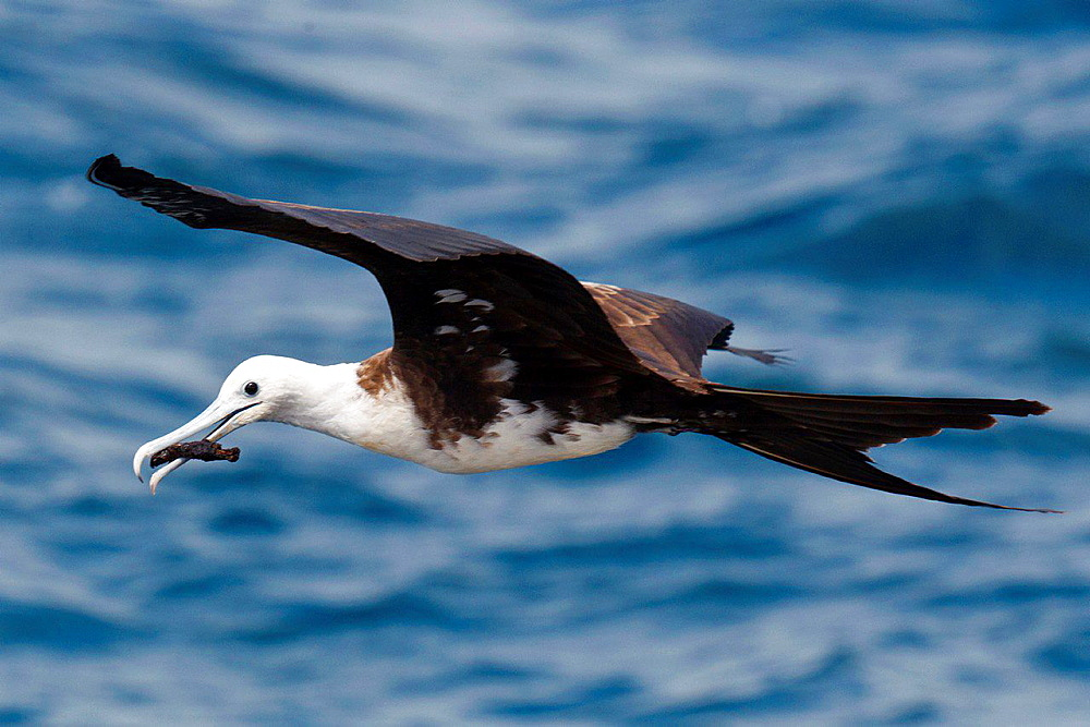 A juvenile Magnificent Frigatebird (Fregata magnificent) flies over the water with a stick in it's mouth, Galapagos Islands National Park, North Seymour Island, Galapagos, Ecuador.