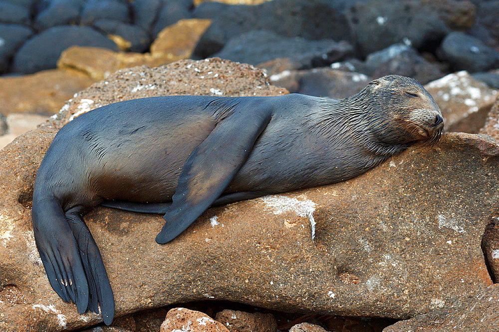 A juvenile Galapagos Sea Lion (Zalphus wollebacki), sleeps on a rock along the shore, Galapagos Islands National Park, North Seymour Island, Galapagos, Ecuador.
