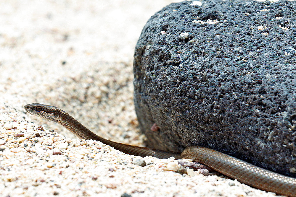 A Galapagos Snake (Alsophis dorsalis), against a lava rock and sand, Galapagos Islands National Park, North Seymour Island, Galapagos, Ecuador.