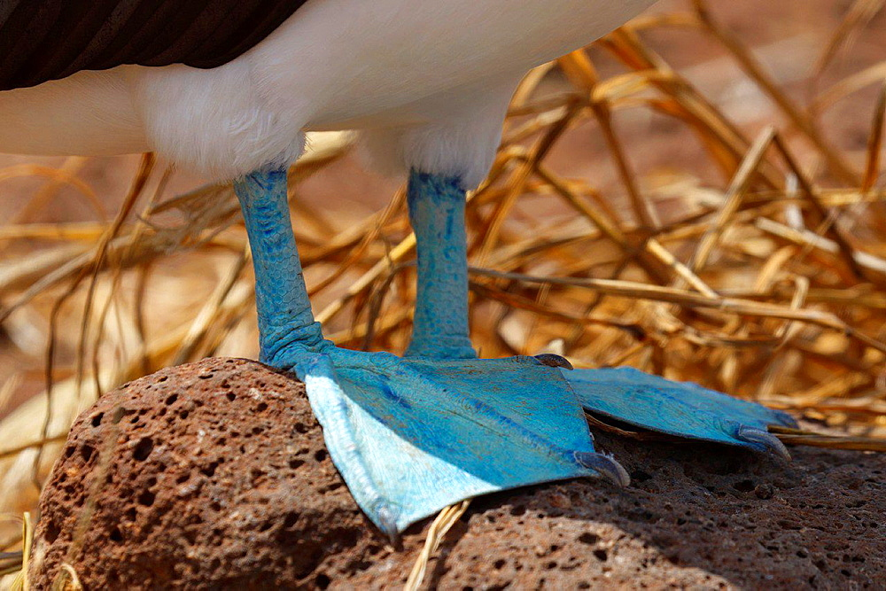Detailed view of the blue feed of a Blue-footed Booby (Sula nebouxii), Galapagos Islands National Park, North Seymour Island, Galapagos, Ecuador.