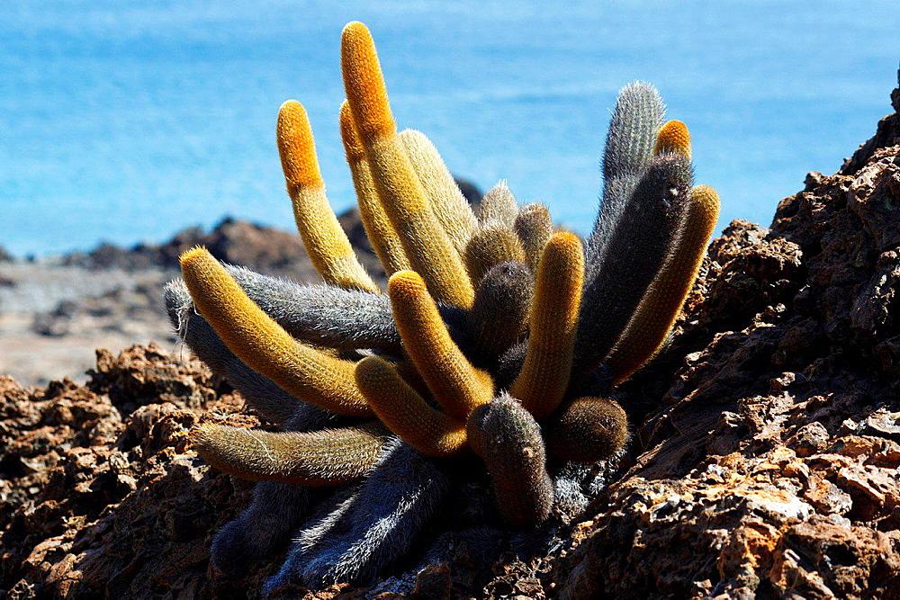 Lava cactus (Brachycereus nesioticus) growing on top of lava rock, Galapagos Islands National Park, Bartolome Island, Galapagos, Ecuador.