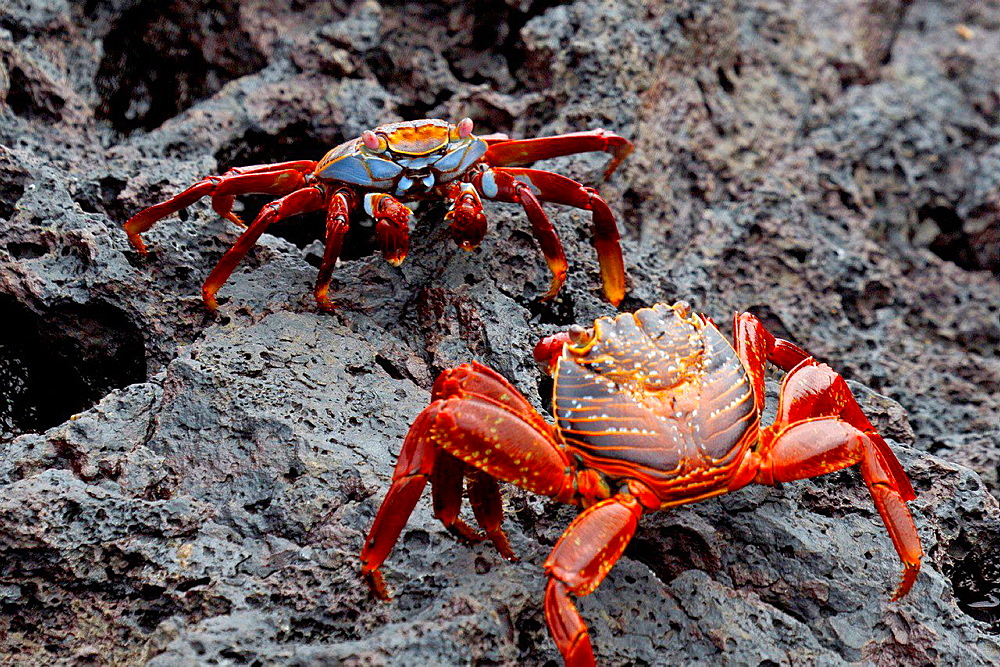 Two Sally Lightfoot Crabs (Graspus graspus) fighting for territory on lava rocks, Galapagos Islands National Park, Bartolome Island, Galapagos, Ecuador.