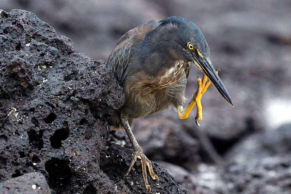 Striated Heron, Lava Heron (Butorides striata sundevalli) standing on a lava rock with one foot in the air, Tortuga Bay, Galapagos Islands National Park, Santa Cruz Island, Galapagos, Ecuador.
